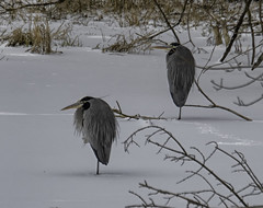 Winter2018-19_SAF0515-2 (sara97) Tags: copyright©2019saraannefinke heron missouri photobysaraannefinke saintlouis wadingbird wildlife winter winter201819