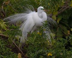 Great Egret in Breeding Plumage (Mark Schocken) Tags: ardeaalba greategret egret rookery markschocken