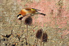 Goldfinch, Newhaven, Feb 11 2019, P1 (11) (marilyndewar458) Tags: newhaven goldfinch teasel