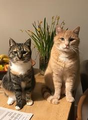20190206 Dumb & Dumber... (www.doortje.nl) Tags: kipje littie cat cats dumb dumber ginger cypers
