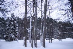 Cluster of trees (Scottb211) Tags: winter gaylord gaylordmichigan gaylordmi upnorth northernmichigan