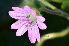 Florecilla rosa (rosaadda) Tags: macrofotografía macro flowers flor flores nikon 5300 naturaleza nature fantasticnature