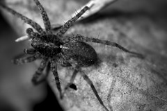 Araignée B&W Macro (LonánWL) Tags: blackandwhite blackwhite blackwhitephotos noiretblanc noirblanc nature araignée spider feuille leef outdoor exterieur canoneos200d wildlife macro canonef50mmf18stm outside dehors insecte insect