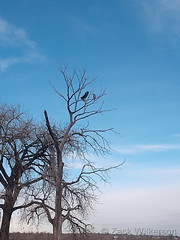 December 25, 2018 - Bald Eagles along the South Platte River. (Zack Wilkerson)