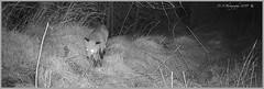 Fox 03140197 (dark-dave) Tags: fox bushnell wildlife cameratrap scotland