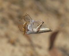 Caught in the web. (ron_n_beths pics) Tags: westernaustralia perthbushlands araneidae