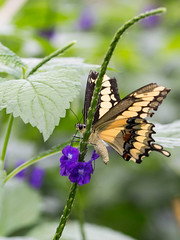 tiger-swallowtail000364-web (Frances Maas) Tags: butterfly niagara nature naturephotography butterflyphotography