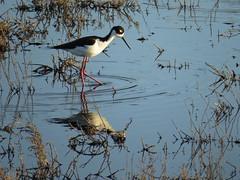 Black-necked Stilt wading in palustrine wetland (stonebird) Tags: blackneckedstilt himantopusmexicanus ballonawetlandsecologicalreserve areab palustrinewetland february img9682