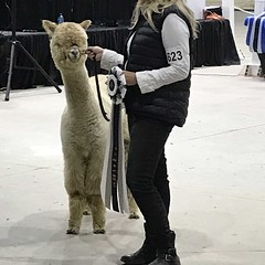I wanted this one to win (f l a m i n g o) Tags: alpaca show competition animal