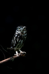 Little owl / Chouette chevêche (Adrien Farese) Tags: bird prey rapace zoo amnéville little owl athene noctua chouette chevêche
