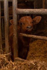 He is so cute bull (jannaheli) Tags: suomi finland kouvola maalla inthecountry nikond7200 party photoshooting nature luonto naturephotography potretti portrait cottagelife mökkielämää eläin animal lehmä cow bull