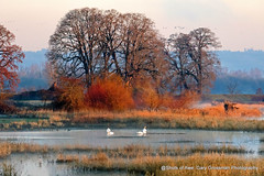 Dawn Patrol (Gary Grossman) Tags: dawn landscape sauvie oregon winter march beauty swan geese birds oaks trees pond northwest garygrossman garygrossmanphotography landscapephotography sauvieisland tundraswan wildlifephotography pacificnorthwest firstlight winterlight latewinter