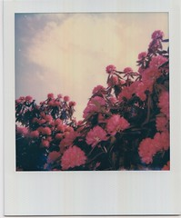 Scan 1 (1) (Emily_sarahd) Tags: polaroids nature naturephotography landscapes flowers colour colourful pink woods forest trees sun