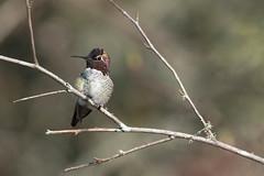 Anna's Hummingbird (Explore) (rmikulec) Tags: anna hummingbird birding birds nature wild wildlife animals ornithology calypte