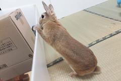 Ichigo san 1522 (Errai 21) Tags: いちごさん ichigo san  ichigo rabbit bunny cute netherlanddwarf pet うさぎ ウサギ いちご ネザーランドドワーフ ペット 小動物 1522