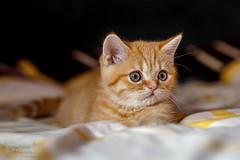 Eddy (Frank Heldt Photography) Tags: eddy kater katze kitten cat babycat littlecat fluffy flauschig love niedlich sweet süs aaawwww