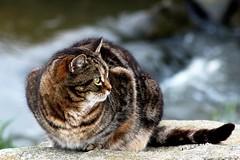 Riverside cat (Zèè) Tags: cats cat chat river tabby tigre tiggy water normandy