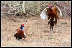 IMG_0092 Fighting Cock Pheasants (Scotchjohnnie) Tags: pheasant phasianuscolchicus cock male ornithology bird birdphotography birdwatching ukbirds wildanimal wildlife wildlifephotography wildandfree wildfowl nature naturephotography canon canoneos canon7dmkii canonef100400f4556lisiiusm scotchjohnnie