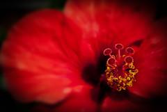 Red hibicus. (Miguel Angel SGR) Tags: flores flowers nature naturaleza color colorful red rojo hibiscus hibisco macro close up acercamiento bokeh focus detalle detail enfoque nikon nikond3000 d3000 miguelangelsgr miguelonphotography