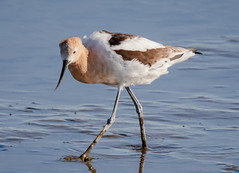 Avocet in breeding plumage (tresed47) Tags: 2019 201903mar 20190326delawarebirds avocet birds bombayhook canon7dmkii content delaware folder march peterscamera petersphotos places season shorebirds takenby us winter