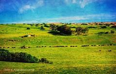 A Wall...of Cattle, Big Island, Hawaii 2018 (augenbrauns) Tags: hawaii bigisland bluesky blue green greenery grass pasture ranch cattle cows netartll exoticimage artdigital