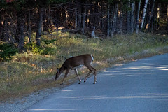 Oh Deer (Northern Wolf Photography) Tags: 140mm deer em5 forest furryfriday road trees wildlife woods greenville maine unitedstates us
