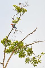 Bienvenue en Amazonie (alain_did) Tags: oiseau aramacao nature naturallight naturepics naturalworld amazonie amazonia green zoom arbre feuilles beautyinnature