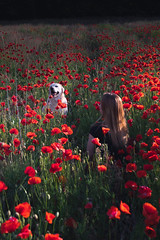 Petra, Zeno and the poppy flower field (RedfoxPerspective) Tags: ifttt 500px forrest enchanted springtime sunray spring fairytale poppy field fall flower green forest fable red best friend dog flowers woman puppy love air labrador retriever budapest