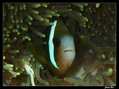 Côte blanche 19.04.06 (CurLy98800) Tags: nouvelle calédonie noumea plongée diving snorkeling new caledonia poisson corail lagon pmt underwater côte blanche amphiprion akindynos clown