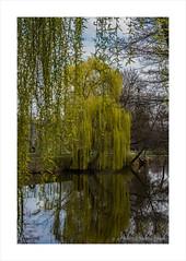 Willow in the river (prendergasttony) Tags: stromovka královskáobora nikon d7200 prague praha willow tree water river reflection yellow
