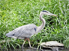 Heron Bird (Anton Shomali - Thank you for over 2 million views) Tags: female male bigandtall heron bird heronbird wildlife wild nature natures flickr flicker macro big close up view river eye head nose species kankakee wings legs blue animal sinuous neck sinuousneck greatblueheron tall large s grass water rocks kankakeeriver wilmington illinois us usa america state gray route66 rt66