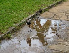 The Southern Lapwings (Quero-quero), the Botanical Garden of São Paulo, Brazil. (eRovielo) Tags: sãopaulo sp brazil brasil jardimbotânicodesãopaulo verão summer thebotanicalgardenofsãopaulo thefontesdoipirangastatepark parque park rioipiranga fredericocarloshoehne estufaseorquidáriodrfredericocarloshoehne lagodasninféias lagodasnascentesdoriachodoipiranga córregopirarungáua portãohistórico parquedoestado statepark chuvadeverão summershowers reflections reflexo bird pássaro fauna vanelluschilensis queroquero southernlapwing theatlanticforest mataatlântica floresta forest mata nascentedocórregopirarungáua afluentesdoriachoipiranga riacho córrego