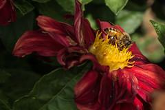 D75_6772 (crispiks) Tags: nikon d750 105mm f28 micro r1c1 albury botanical gardens new south wales