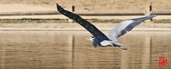 Les reflets de l'eau sous l'aile de M. Héron en vol (mamnic47 - Over 9 millions views.Thks!) Tags: oiseaux 6c8a3554 reflets héroncendré ailes vol