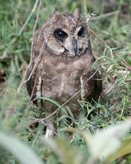 Marsh Owl (Asio capensis) (Mark Vukovich) Tags: marsh owl asio capensis bird ndutu tanzania