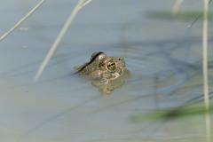 Bufo viridis (Green Toad) - Bufonidae - Shipka, Bulgaria (Nature21290) Tags: amphibian anura bufo bufoviridis bufonidae bulgaria bulgaria2018 greentoad shipka toad