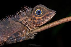 Gonocephalus liogaster (Matthieu Berroneau) Tags: gonocephalus liogaster gonocephalusliogaster orangeringed anglehead lizard orangeringedangleheadlizard blueeyed angleheaded lizardblueeyedangleheadedlizard borneo malaisie malaysia sony alpha ff 24x36 macro nature wildlife animal fe 90 f28 g oss fe90f28macrogoss sonya7iii sonya7mk3 sonyalpha7mark3 sonyalpha7iii a7iii 7iii 7mk3 sonyilce7m3 sonyfesonyfe2890macrogoss objectifsony90mmf28macrofe sel90m28g herp herping trip reptile reptilian reptilia