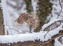 Snowy Take-off... (DTT67) Tags: barredowl owl raptor 500mm 1dxmkii canon snow flight bif bird wildlife nature