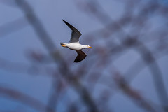 Seagull in flight (Mikon Walters) Tags: seagull fly flying flight bird animal animals creature living things wildlife wild life nature outdoors d5600 nikon sigma 150600mm contemporary super zoom lens photography
