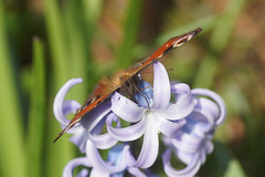dagpauwoog 3 22-3-2019 (2) (tjdegraaf) Tags: dagpauwoog aglaisio inachisio nymphalidae peacockbutterfly macro insect flower butterfly hyacint hyacinthusorientalis
