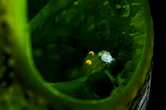 Behind the green tunicate (Luko GR) Tags: indonesia bali tulamben supermacro critter isopod tunicate greencolor eyescloseup