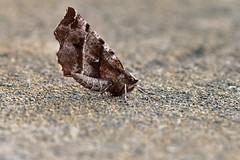 Early Thorn .... Selenia dentaria (AndyorDij) Tags: earlythorn seleniadentaria nationalmothweek lepidoptera insect moth andrewdejardin england empingham empinghammoths rutland uk unitedkingdom