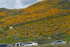 People at the Lake Elsinore Poppy Bloom (dcnelson1898) Tags: california southerncalifornia lakeelsinore losangeles interstate5 i5 travel traffic vehicles unitedstates usa america poppies flowers superbloom