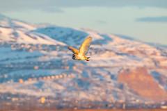 _MG_8775 (TLOutdoorPhoto) Tags: barn owl