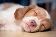 sleepyhead (auntneecey) Tags: nose macro puppy sweet 365the2019edition 3652019 day21365 21jan19
