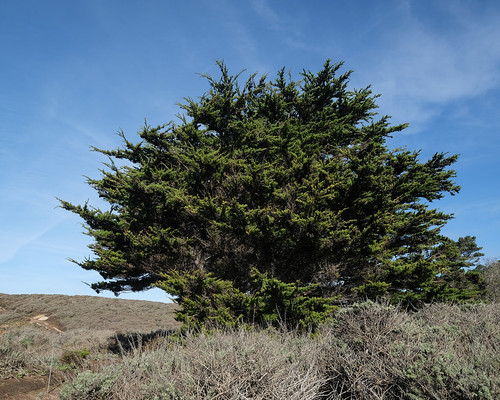 Cypress Tree, Point Lobos State Natural Reserve 1/18/19
