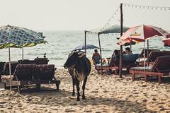 """Make sure you get my good side"" (nahinmiah93) Tags: cow pose beach sea sky people peaceful nature beautiful goa sand scene scenery india vacation sunny seaside coast shore umbrella"
