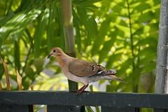 some kind of dove (thomas.erskine) Tags: 20190227dsc02546tee 2019 feb barbados bird dove