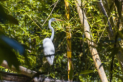 Great Egret (proyectoasis) Tags: animals animal animales ave aves bird birds