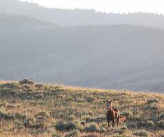 Sunset Stallion (chad.hanson) Tags: mustang wildlife wildhorses wyoming greenmountainhma horse